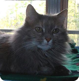 Domestic Shorthair Cat for adoption in Templeton, Massachusetts - Dutchess