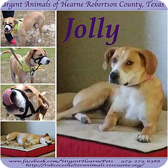 Treeing Walker Coonhound/Border Collie Mix Dog for adoption in Hearne, Texas - Jolly