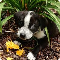 Adopt A Pet :: Oreo Bits - Alpharetta, GA