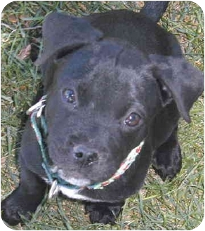American Pit Bull Terrier/Labrador Retriever Mix Puppy for adoption in Grass Valley, California - Chewy