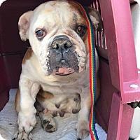 Adopt A Pet :: Raney - Park Ridge, IL