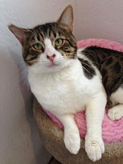Domestic Shorthair Cat for adoption in Alamogordo, New Mexico - TC