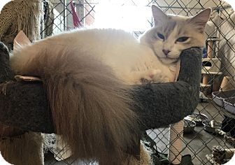 Siamese Cat for adoption in Fallbrook, California - Angelica