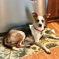 Terrier (Unknown Type, Medium)/Australian Cattle Dog Mix Dog for adoption in Livonia, Michigan - Gypsy