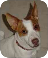 Jack Russell Terrier Dog for adoption in Thomasville, North Carolina - Jack