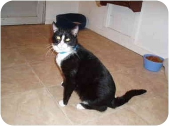 Domestic Shorthair Cat for adoption in Hamburg, New York - Jupiter