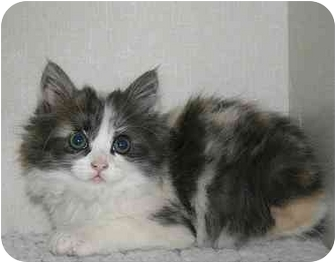 Calico Kitten for adoption in Ladysmith, Wisconsin - C6214