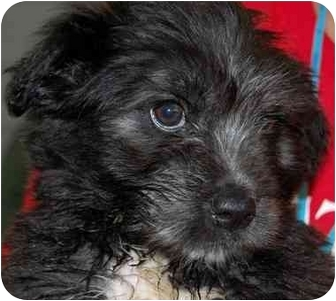 Terrier (Unknown Type, Medium) Mix Puppy for adoption in Inman, South Carolina - Alfalpha