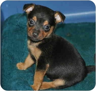 Dachshund/Beagle Mix Puppy for adoption in La Habra Heights, California - Toby
