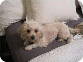 Maltese/Poodle (Miniature) Mix Dog for adoption in Coppell, Texas - Phoebe