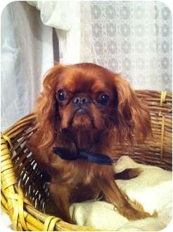 English Toy Spaniel Puppy for adoption in Cumberland, Maryland - Oliver