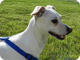 Rat Terrier Mix Dog for adoption in Brazil, Indiana - Hollie Berry