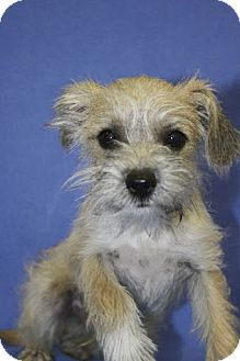 Schnauzer (Miniature) Mix Puppy for adoption in Broomfield, Colorado - Trip