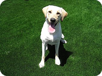 Labrador Retriever Dog for adoption in Santa Ana, California - Splash