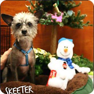 Yorkie, Yorkshire Terrier/Chinese Crested Mix Dog for adoption in Ogden, Utah - Skeeter