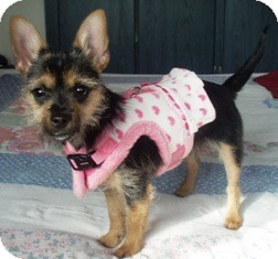Yorkie, Yorkshire Terrier/Chihuahua Mix Puppy for adoption in Osseo, Minnesota - Abigail