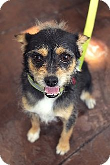 Terrier (Unknown Type, Small) Mix Dog for adoption in Portland, Oregon - Leo