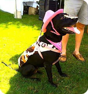 Labrador Retriever/Golden Retriever Mix Dog for adoption in Miami, Florida - Xena
