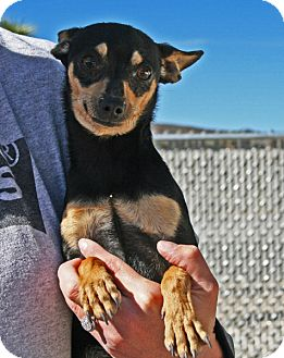 Chihuahua Mix Dog for adoption in Yucca Valley, California - Bambi Spring Rivers
