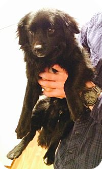 Spaniel (Unknown Type)/Cocker Spaniel Mix Dog for adoption in Upland, California - Toby