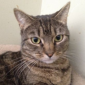 Domestic Shorthair Cat for adoption in Harrison, New York - Sweet Violet