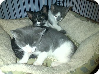 American Shorthair Kitten for adoption in Concord, North Carolina - Austin