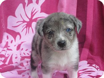 Border Collie/Australian Shepherd Mix Puppy for adoption in West Milford, New Jersey - MUFFIN-pending