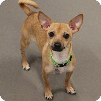 Chihuahua Puppy for adoption in Atlanta, Georgia - Khloe
