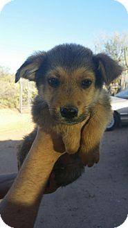 German Shepherd Dog Mix Puppy for adoption in Tucson, Arizona - William