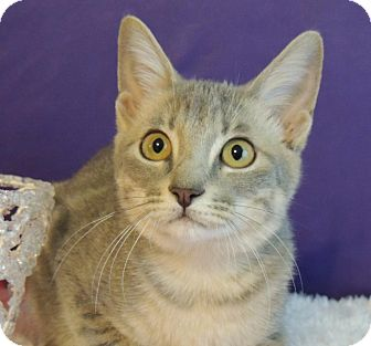Domestic Shorthair Cat for adoption in Roanoke, Texas - Twinkle