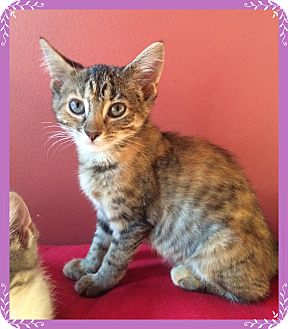 Domestic Shorthair Kitten for adoption in Mt. Prospect, Illinois - Justice