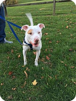 Pit Bull Terrier Mix Puppy for adoption in Nesquehoning, Pennsylvania - Cooper