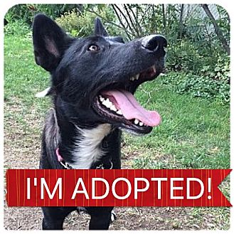 Border Collie/German Shepherd Dog Mix Dog for adoption in Regina, Saskatchewan - Honey