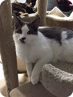 Domestic Mediumhair Kitten for adoption in Brea, California - GRAYSON