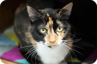 Calico Cat for adoption in Martinsville, Indiana - Princess