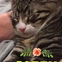 Domestic Shorthair Cat for adoption in Baton Rouge, Louisiana - Aspen