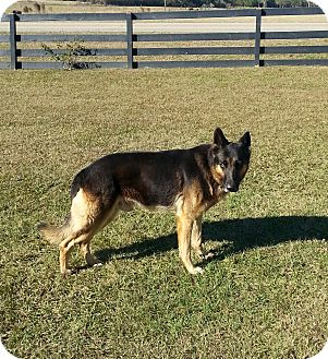 German Shepherd Dog Dog for adoption in Dothan, Alabama - Pork Chop