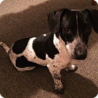 Adopt A Pet :: Pepper Hartley - Decatur, GA