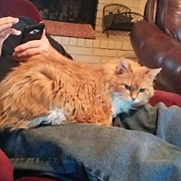 Domestic Longhair Cat for adoption in Broken Arrow, Oklahoma - Meow Meow