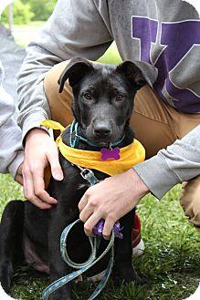 Labrador Retriever Mix Dog for adoption in Manhattan, Kansas - Teddy