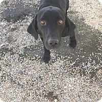 Adopt A Pet :: Cowboy - Hammond, LA