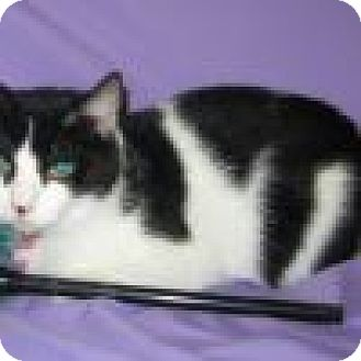 Domestic Shorthair Cat for adoption in Powell, Ohio - Cuddles