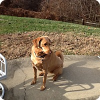 Adopt A Pet :: Honey (COURTESY POST) - Baltimore, MD