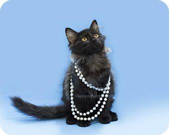 Domestic Mediumhair Cat for adoption in Oviedo, Florida - Ms. Dino