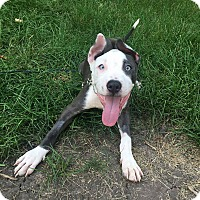 American Pit Bull Terrier Mix Puppy for adoption in Warrenville, Illinois - Sonny