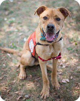 Rhodesian Ridgeback/Labrador Retriever Mix Dog for adoption in Southbury, Connecticut - Tyler ~cross posted