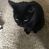 Domestic Shorthair Cat for adoption in Boynton Beach, Florida - Brindle True