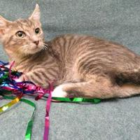 Adopt A Pet :: Yoda - Port Charlotte, FL