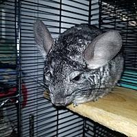 Adopt A Pet :: Fifi - Lindenhurst, NY