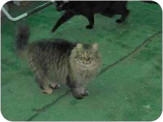 Maine Coon Cat for adoption in El Cajon, California - Hansel